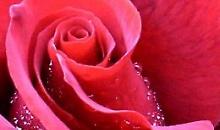 Lepota starenja i ruža